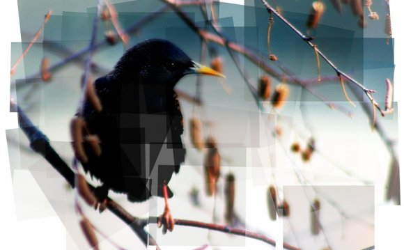 European Starling (panography)